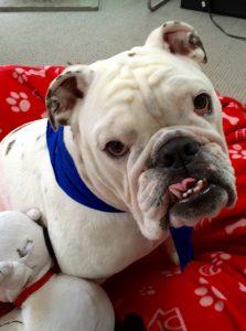 Gus Bulldog Ribbon Tongue